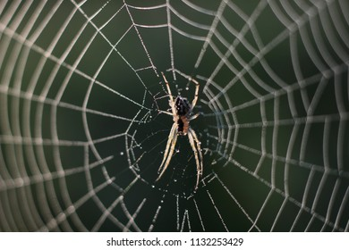 spider web with morning dew-drop spider