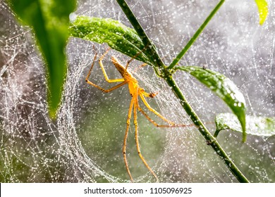 Spider and spider web on green leaf in forest, Spiders have fangs that inject poison into their prey, and most kinds spin webs in which to capture insects.