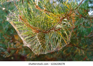 spider web on a pine branch, pine needles in a spider web in autumn