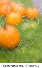 Spider web spun in front of pumpkins on grass