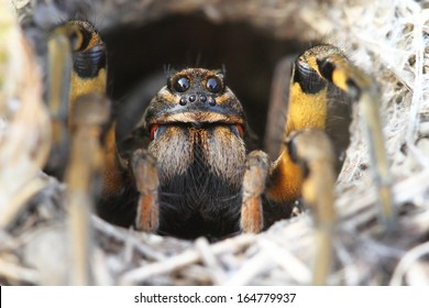 Spider Wolf (Lycosa tarantula) in its hole