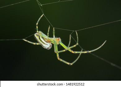 Spider(Arthropoda: Arachnida: Araneae: Tetragnathidae). On web in mdiair. In Zhubei,Hsinchu,Taiwan.