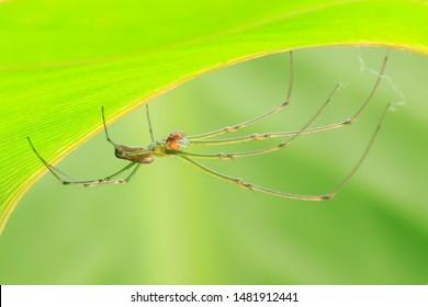 Spider(Arthropoda: Arachnida: Araneae: Tetragnathidae). Under the leaf. In Hengshan,Hsinchu,Taiwan.