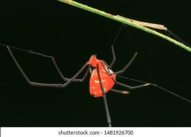 Spider(Arthropoda: Arachnida: Araneae: Theridiidae: Argyrodes miniaceus). Under the leaf. In Zhubei,Hsinchu,Taiwan.