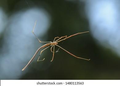 Spider(Arthropoda: Arachnida: Araneae: Theridiidae: Ariamnes cylindrogaster). On web in mdiair. In Zhubei,Hsinchu,Taiwan.