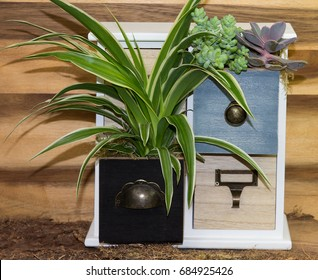 Spider-plant houseplant growing in wooden cubby drawer