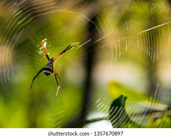 Spiders wait for prey on spider webs at morning sunlight with blurred green garden background.