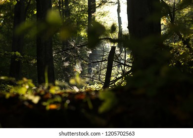 Spiders web glowing in sunlight visible on fallen tree branches in the forest. Autumn, october.
