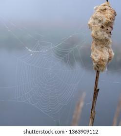 Spider's web on lakeside bullrush