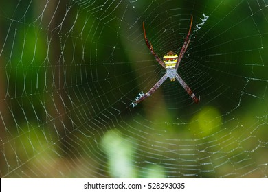 Spiders(Argiope versicolor)-Spiders on webs.