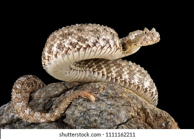 The spider-tailed horned viper (Pseudocerastes urarachnoides) has a unique tail that has a bulb-like end that give it the appearance of a spider.and used to catch birds.