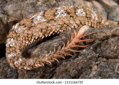 The spider-tailed horned viper (Pseudocerastes urarachnoides) has a unique tail that has a bulb-like end that is bordered by long drooping scales that give it the appearance of a spider.