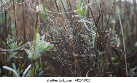 Spiderweb on a lavender bush on a foggy day in the garden