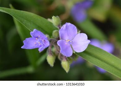 Spiderwort flower close up - Latin name - Tradescantia virginiana