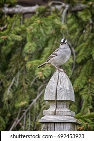 """""""Spiffy Sparrow"""" A migrating White-crowned Sparrow passing through southern Ontario; returning from a winter in  the southern U.S. He probably will be summering in Canada's far north."""