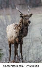Spike Elk