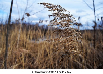The spike in the field, dry grass, nature