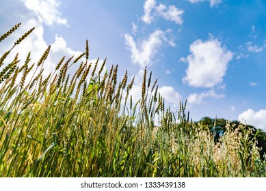 Spike of unripe spelt grain, Triticum spelta