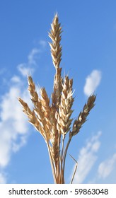 spike wheat in the blue sky background