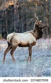 Spiked bull elk