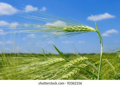 Spikelet of barley on barley field against blue sky