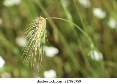 Spikelet in the field