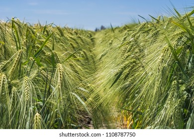 Spikelets of green barley, clogged with heavy grains, against the background of the field and sky
