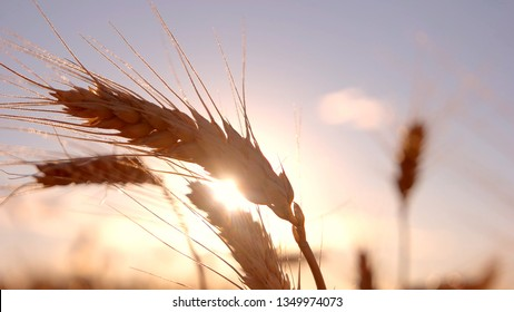 Spikelets on bright sun background. Stems moving in the wind. In peace and quiet. Best is yet to come.
