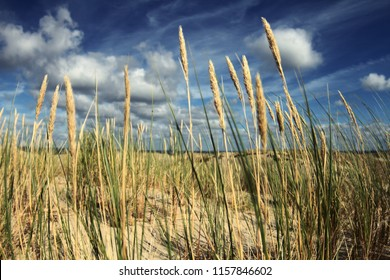 Spikelets in the sand dunes against the blue sky background on the Curonian spit in Nida