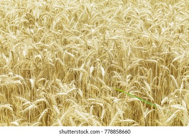 Spikelets of wheat against the background of a wheat field, selective focus