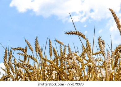 Spikelets of wheat against the sky. Ripe ears of cereal.
