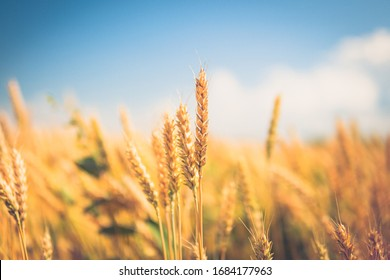spikelets of wheat close-up. ripe wheat against the blue sky