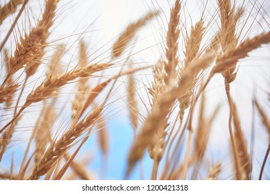 spikelets of wheat on a farm field, and blue sky