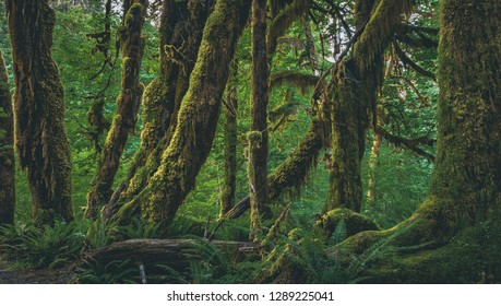 Spikemoss clings to the trunks of Broadleaf Maple trees on the Hall of Mosses Trail in the Hoh Rainforest, part of Olympic National Park on the  Peninsula of western Washington State, United States.