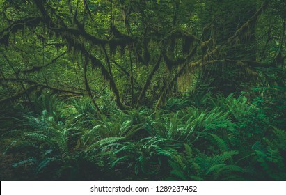 Spikemoss and ferns cover the forest floor beneath Sitka Spruce, Broadleaf Maple, and Western Hemlock trees in the Hoh Rainforest, part of Olympic National Park in western Washington state, USA.
