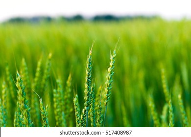Spikes of barley against the background of green barley field, natural light