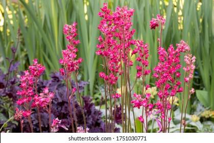 Spikes of crimson red flowers of alum root, Heuchera 'Firebird', in cottage garden border. Background of blurred Iris leaves and dark purple foliage.