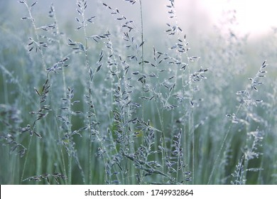 Spikes of meadow fescue grass with morning dew in summer