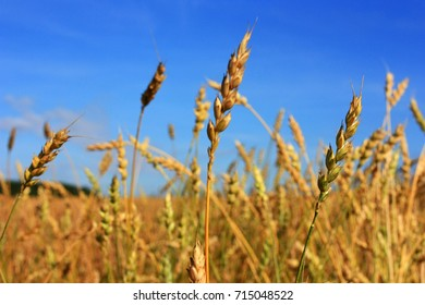 Spikes of wheat in the field