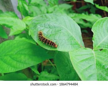 Spikey catterpillar on the leaf