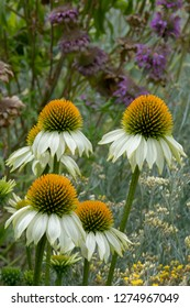 Spikey Echinacea (Coneflower) flower growing in their natural garden setting, using shallow depth, focusing on just the main flowers leaving the rest soft.