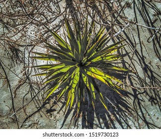 A spikey green sharp leafed beach plant growing on a grey sand beach that is covered with dead roots, vines, tendrils and dried detrius