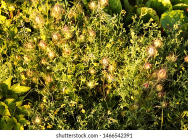 The spikey heads and green leaves of Nigella damascena, known as Love in a Mist, growing in early Summer.