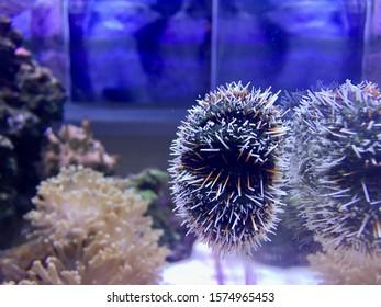 Spikey sea urchin in aquarium