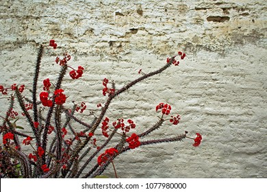 Spiky Cactus Plant with Red Blooms in front of a White Stucco Wall in a Desert Garden