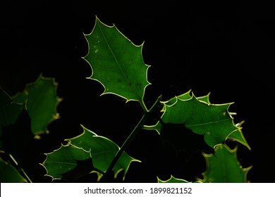 Spiky green backlit Holly leaves.