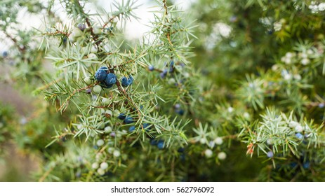 Spiky green juniper bush close up image with blueish bloomy berries, the pantone color of the year 2017, Greenery