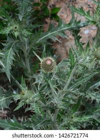 Spiky Green  Thistle Bud Closeup