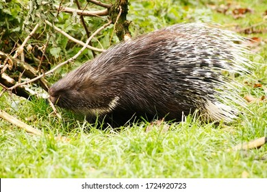 Spiky Indian crested porcupine with brown white quills . Cute wild animal. Large rodent with coat of sharp spines for predators protect