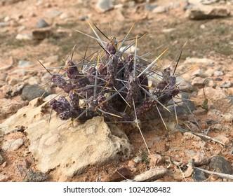 Spiky lavender cactus